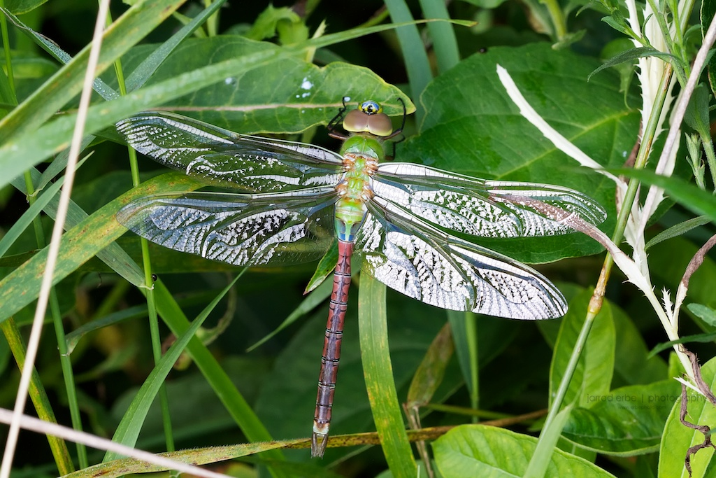 macro_photography_green_darner
